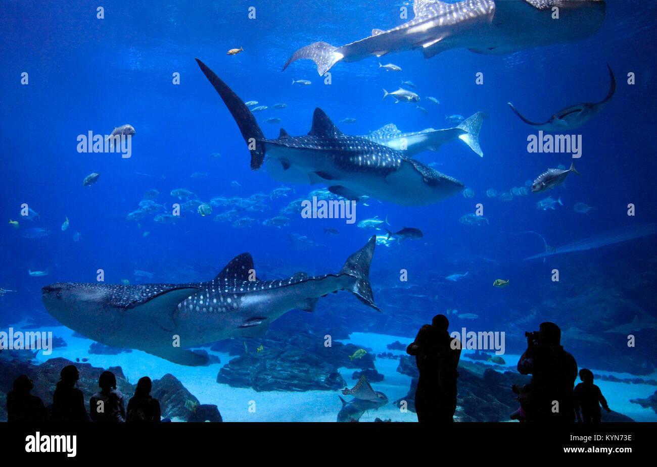 Les visiteurs appréciant de voir les quatre requin-baleine à l'Aquarium de Géorgie, USA Photo Stock