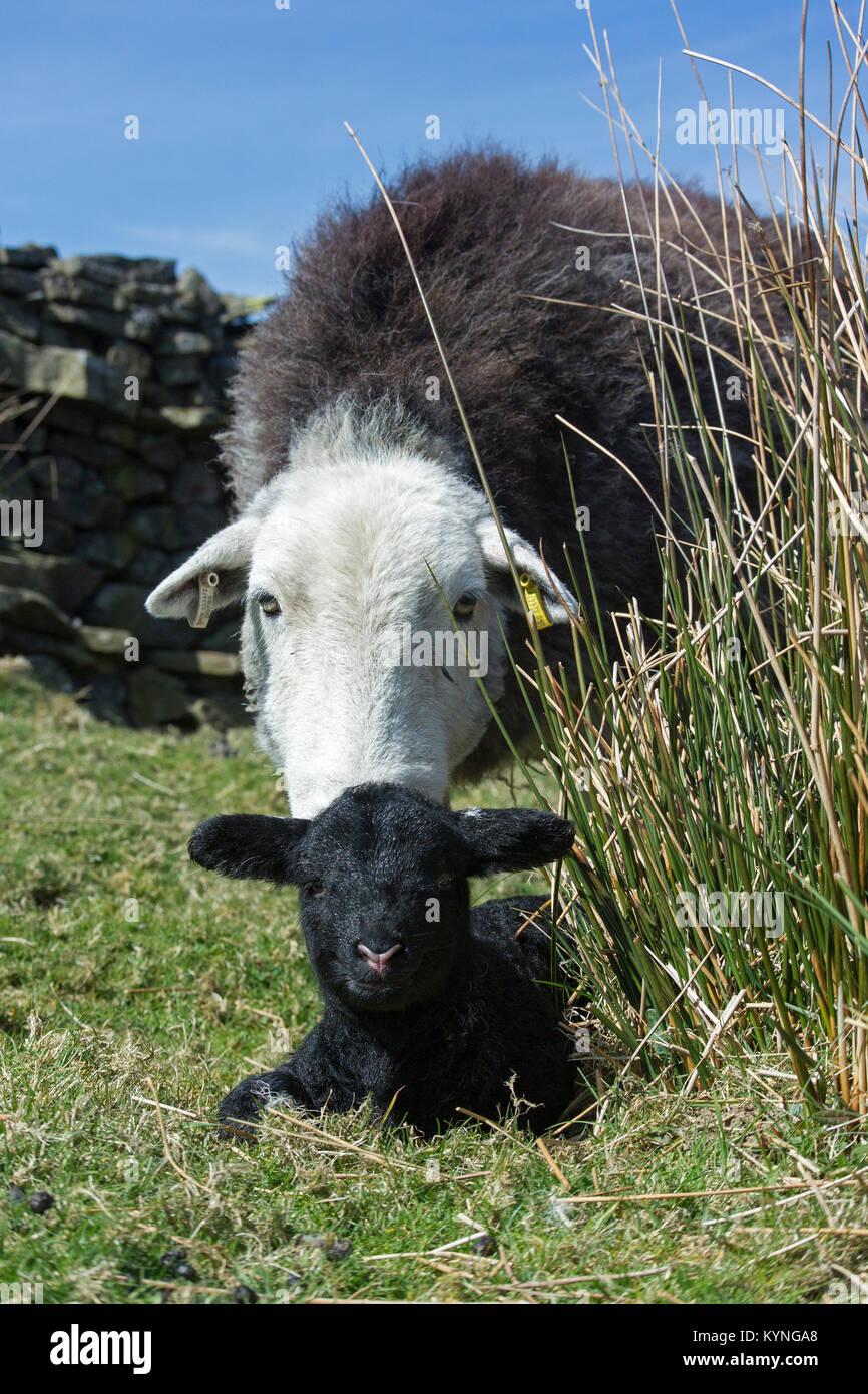Brebis Herdwick avec agneau nouveau-né dans les pâturages des hautes terres, au Royaume-Uni. Photo Stock