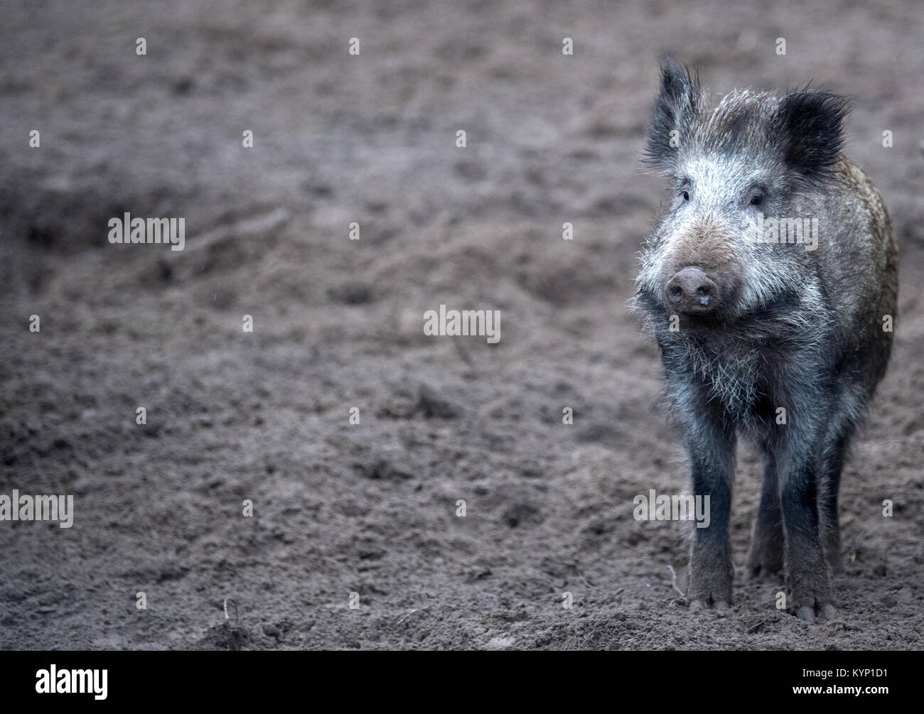 Shooting Boar Photos & Shooting Boar Images - Alamy