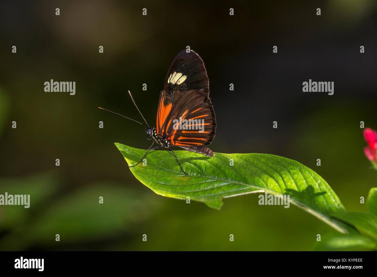 Close up of orange noir et blanc papillon Heliconius erato notabilis communément connu sous le nom de postman Photo Stock
