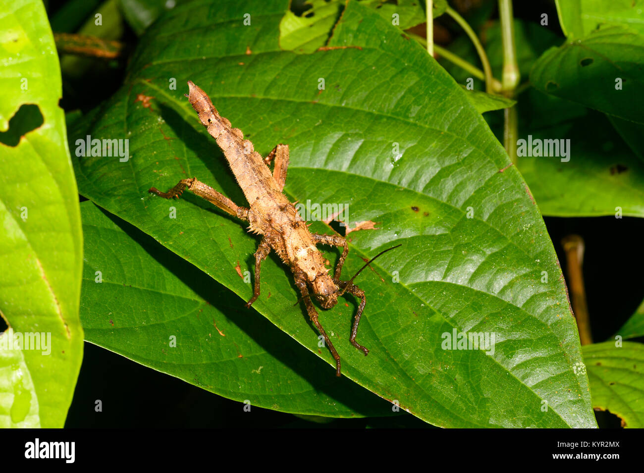 Close-up d'un Phasme épineux (Aretaon asperrimus), Tabin, Bornéo, Sabah, Malaisie Photo Stock