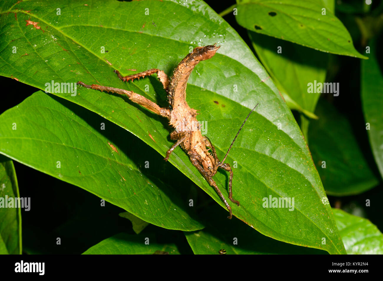 Close-up d'un Phasme épineux (Aretaon asperrimus) en position de menace, Tabin, Bornéo, Sabah, Malaisie Photo Stock
