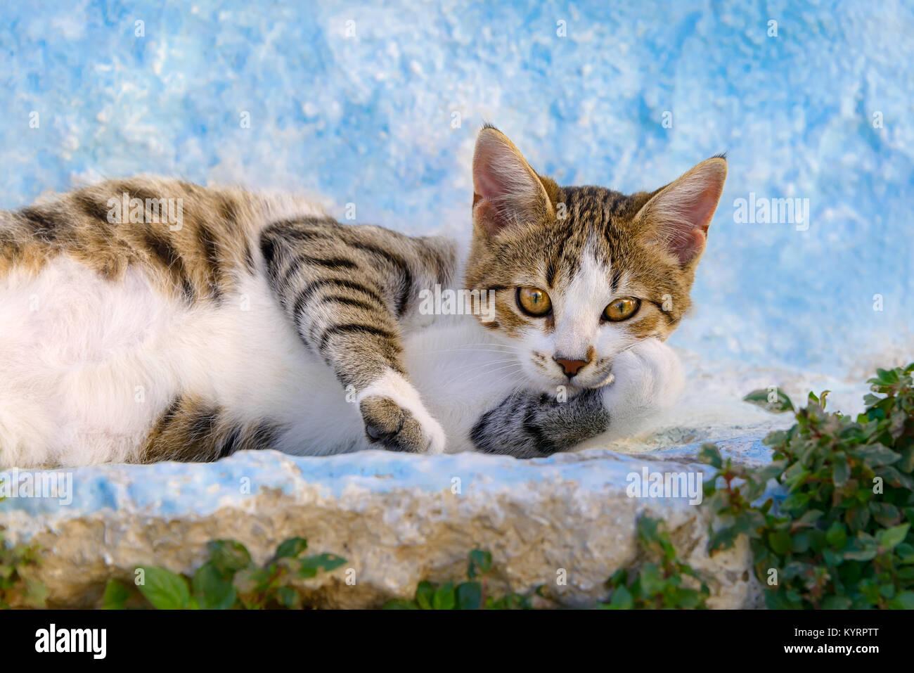Un chat mignon chaton, brown mackerel tabby avec blanc, reposant sur un paresseux bleu blanc mur, île grecque du Dodécanèse, Rhodes, Grèce, Europe Banque D'Images