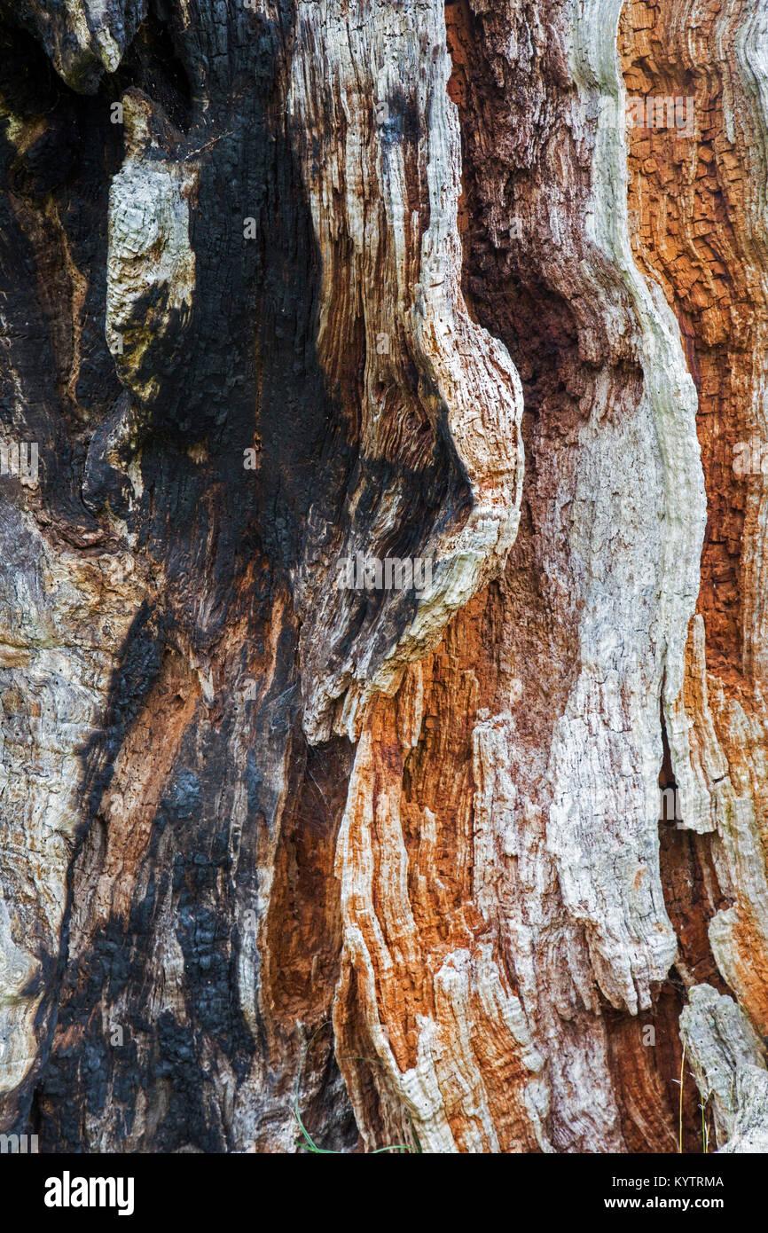 Close up of rotten et partiellement brûlé / bois carbonisé de l'anglais / chêne arbre le chêne pédonculé (Quercus Banque D'Images