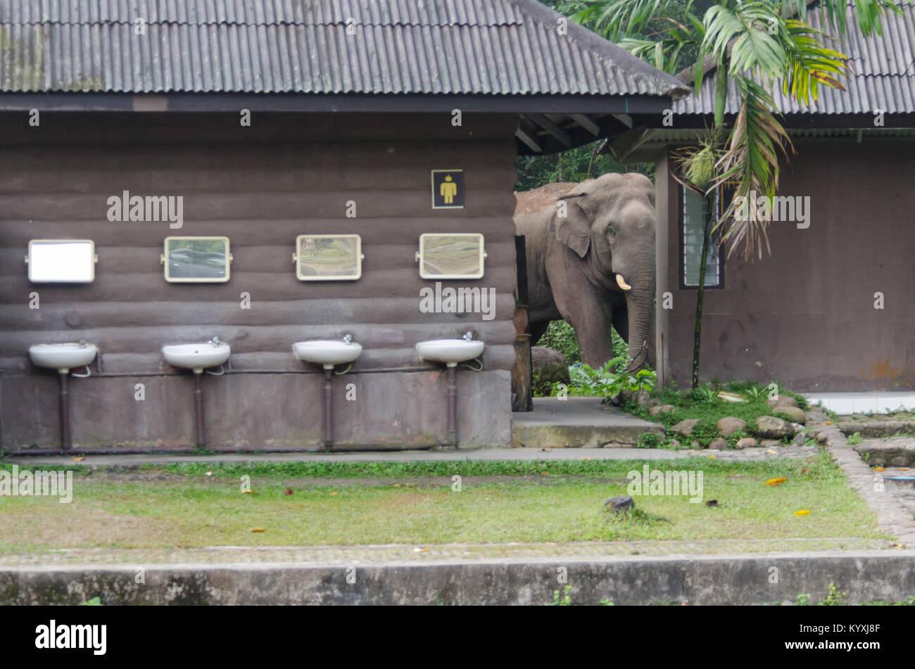 Homme sauvage d'Asie ou de l'éléphant d'Asie (Elephas maximus), la saisie d'une partie Photo Stock