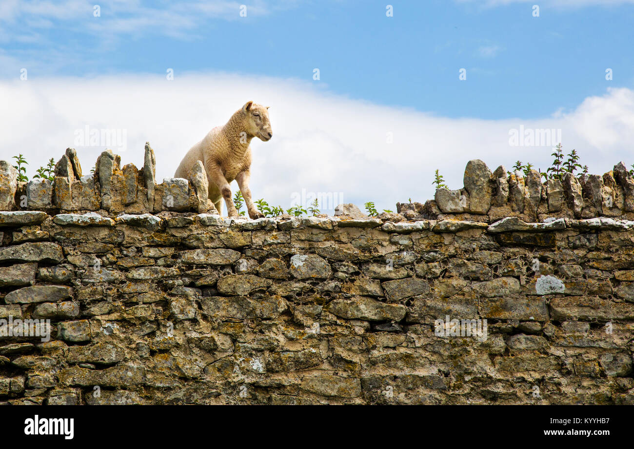 En contemplant les moutons sauter par dessus un mur de pierre pour de plus verts pâturages - South Wales UK Photo Stock
