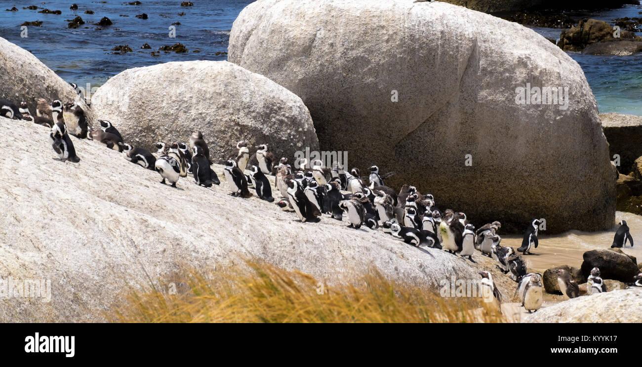 La colonie de pingouins, la plage de Boulders, Province du Cap, Afrique du Sud Photo Stock