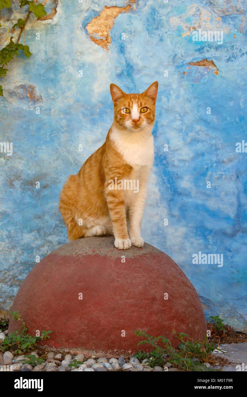 Une alerte rouge, chat mackerel tabby avec blanc, assis sur un observantly pierre ronde rouge devant un mur bleu, l'île grecque de Rhodes, Dodécanèse, Grèce Banque D'Images