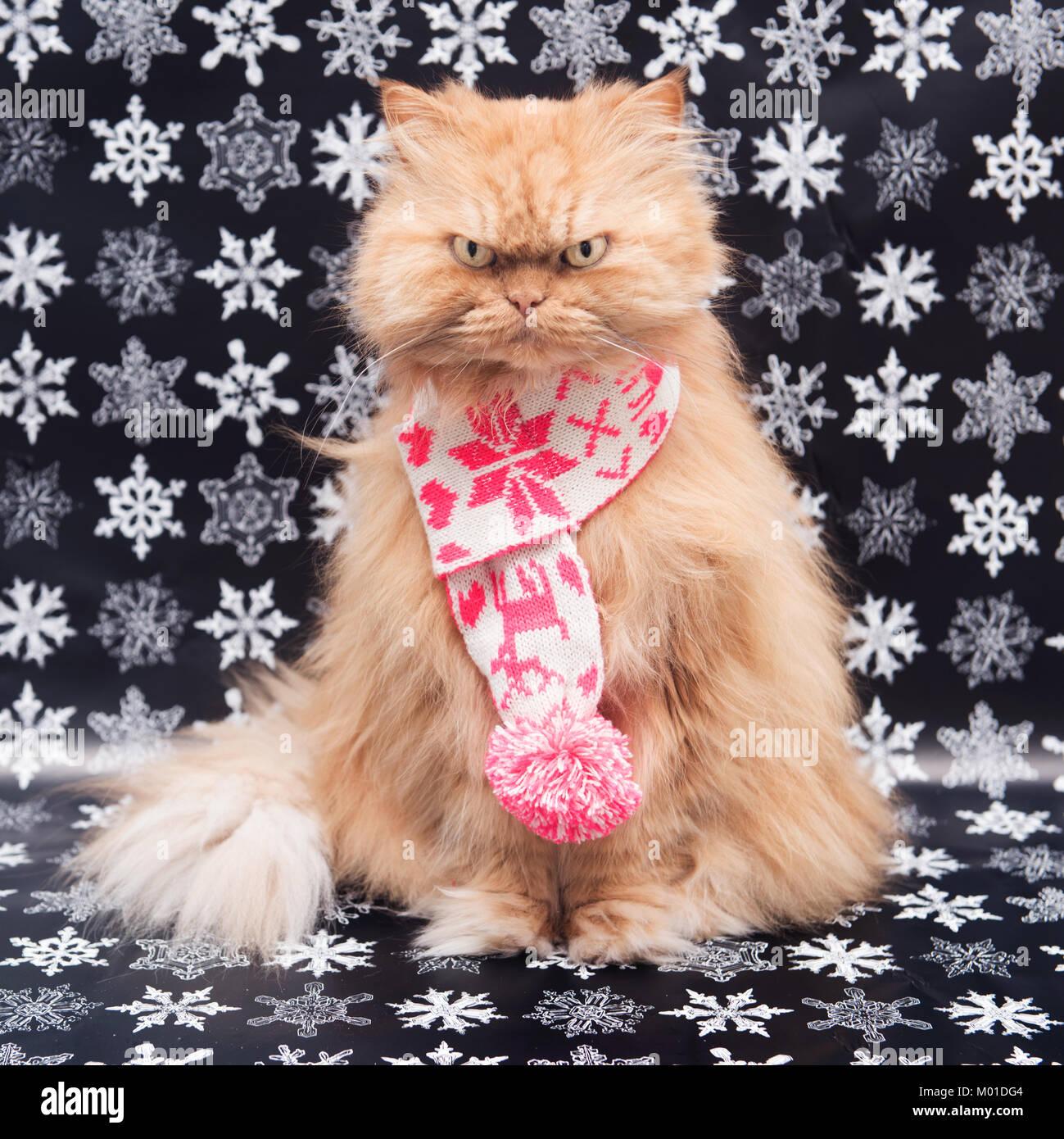 Chat persan orange avec écharpe en tricot Photo Stock