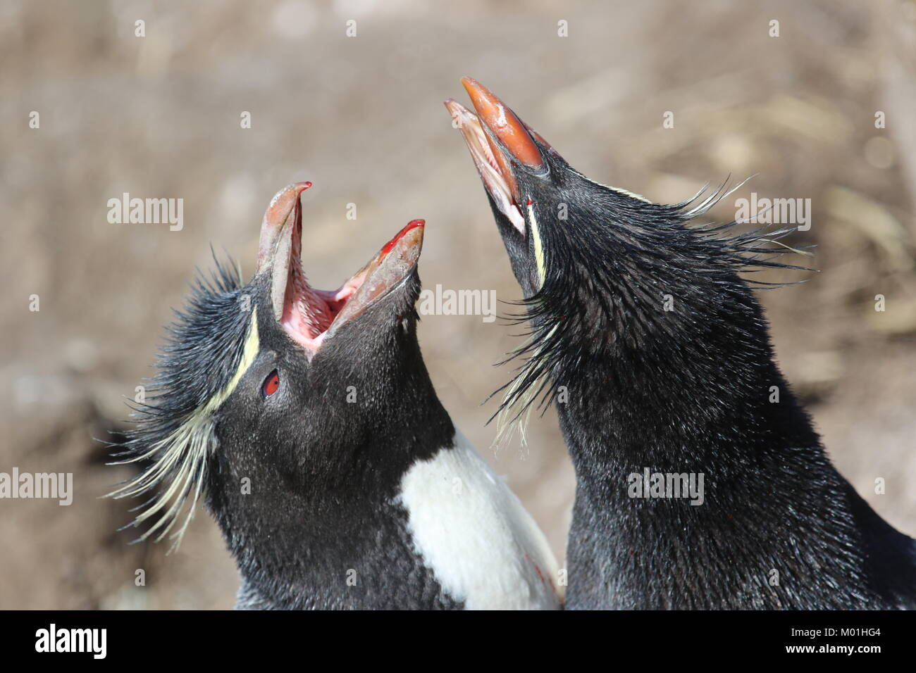 Pingouins Falkland Island Photo Stock