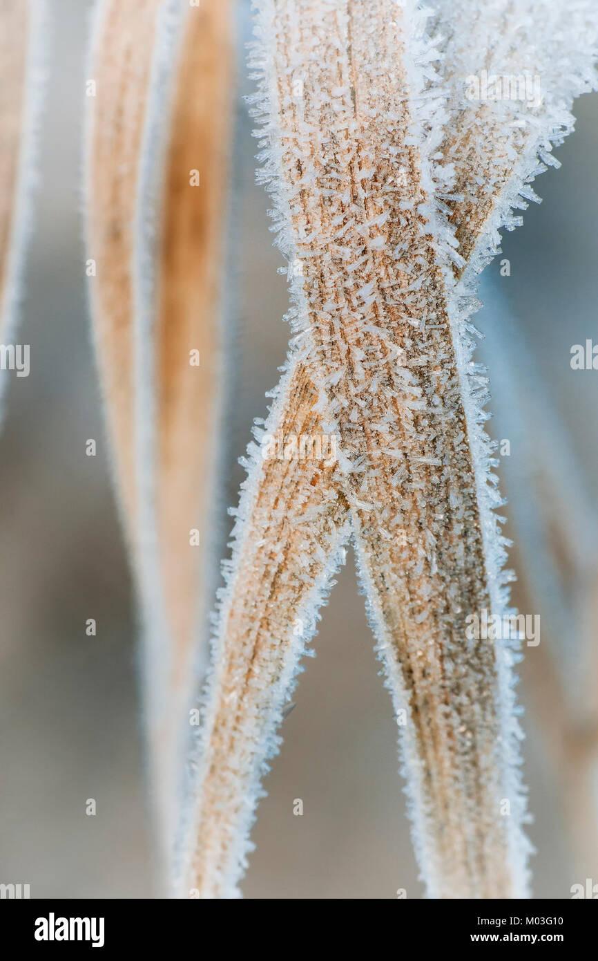 Frost couverts des brins d'herbe dans un pré sur un hivers matin. Cahir, Tipperary, Irlande. Banque D'Images