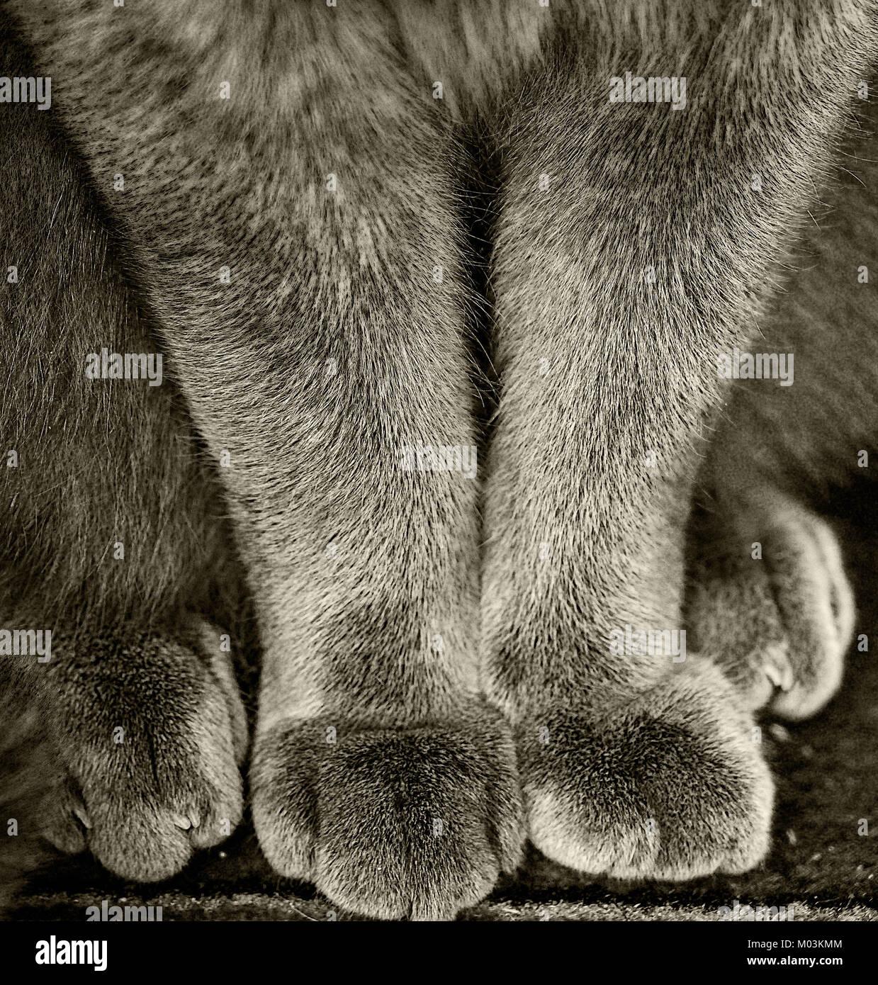 Une photographie en noir et blanc de la moitié inférieure d'un chat bleu Britannique dans une position Photo Stock