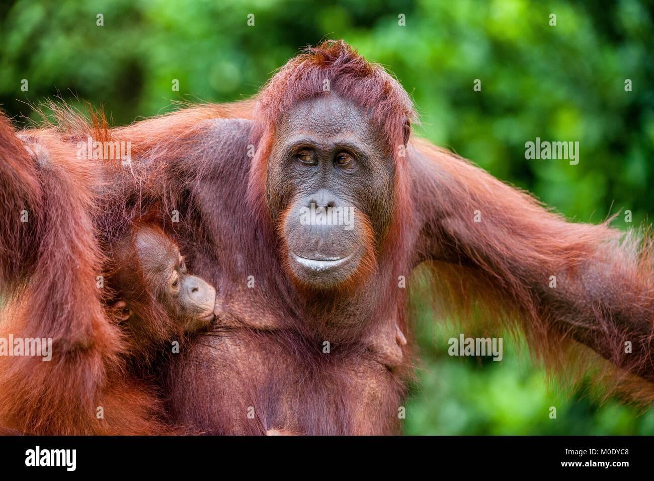 Orang-outan donner du lait à son bébé. Mère et de l'orang-outan cub dans un habitat naturel. L'orang-outan de Bornéo Banque D'Images