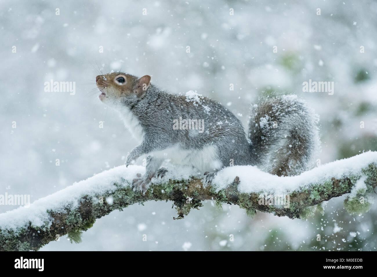 Killearn, Stirlingshire, Scotland, UK - 21 janvier 2018: Royaume-Uni - un écureuil gris à la recherche Photo Stock
