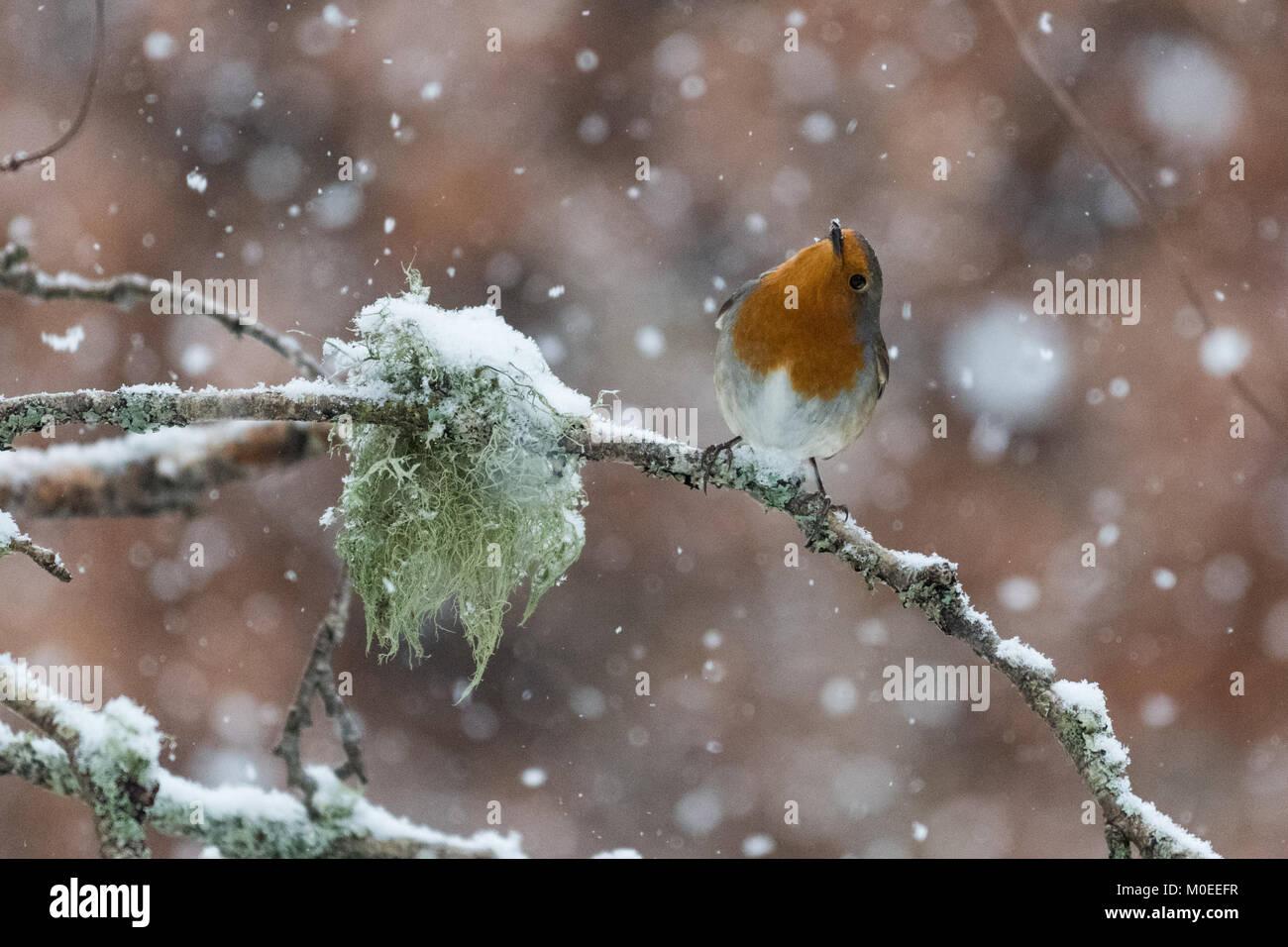 Killearn, Stirlingshire, Scotland, UK - 21 janvier 2018: Royaume-Uni - un robin à la recherche de nourriture au Banque D'Images