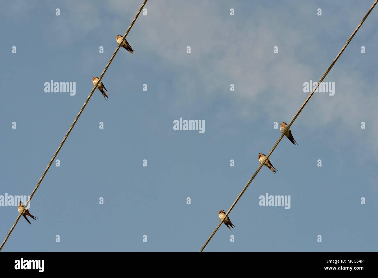 L'hirondelle (Hirundo neoxena Welcome) perchés sur des lignes électriques en début de matinée, Photo Stock