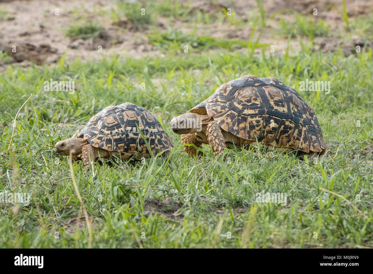 Tortues léopard (Stigmochelys pardalis) marcher dans une rangée, animal paire, rivière Chobe, avant Photo Stock