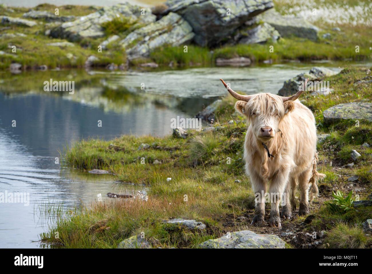 Scottish Highland cattle sur l'alpage, Scheidseen, Galtür, Tyrol, Autriche Photo Stock
