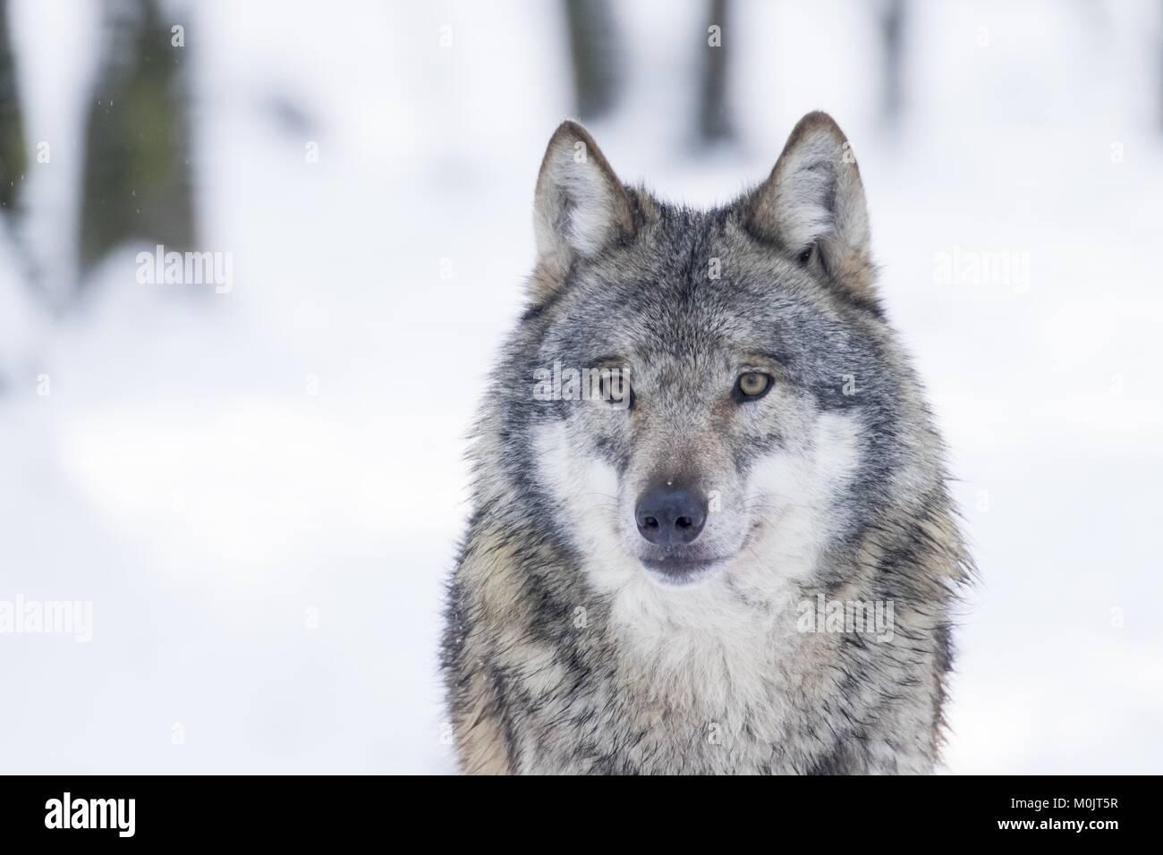Le loup (Canis lupus) en hiver, portrait, captive, Allemagne Banque D'Images