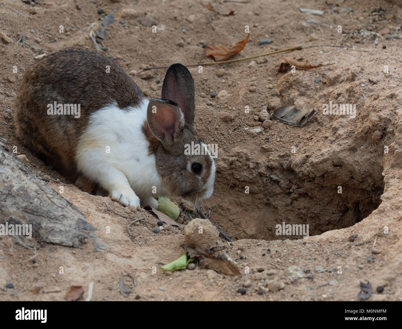 Lapin blanc et brun en face du trou dans un zoo Photo Stock
