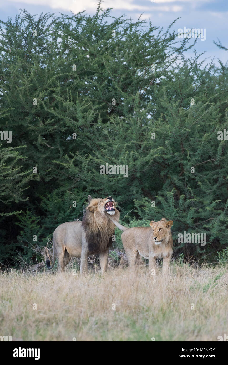 Adolescents et adultes male lion (Panthera leo), Savuti,le Parc National de Chobe Chobe District,Botswana, Photo Stock