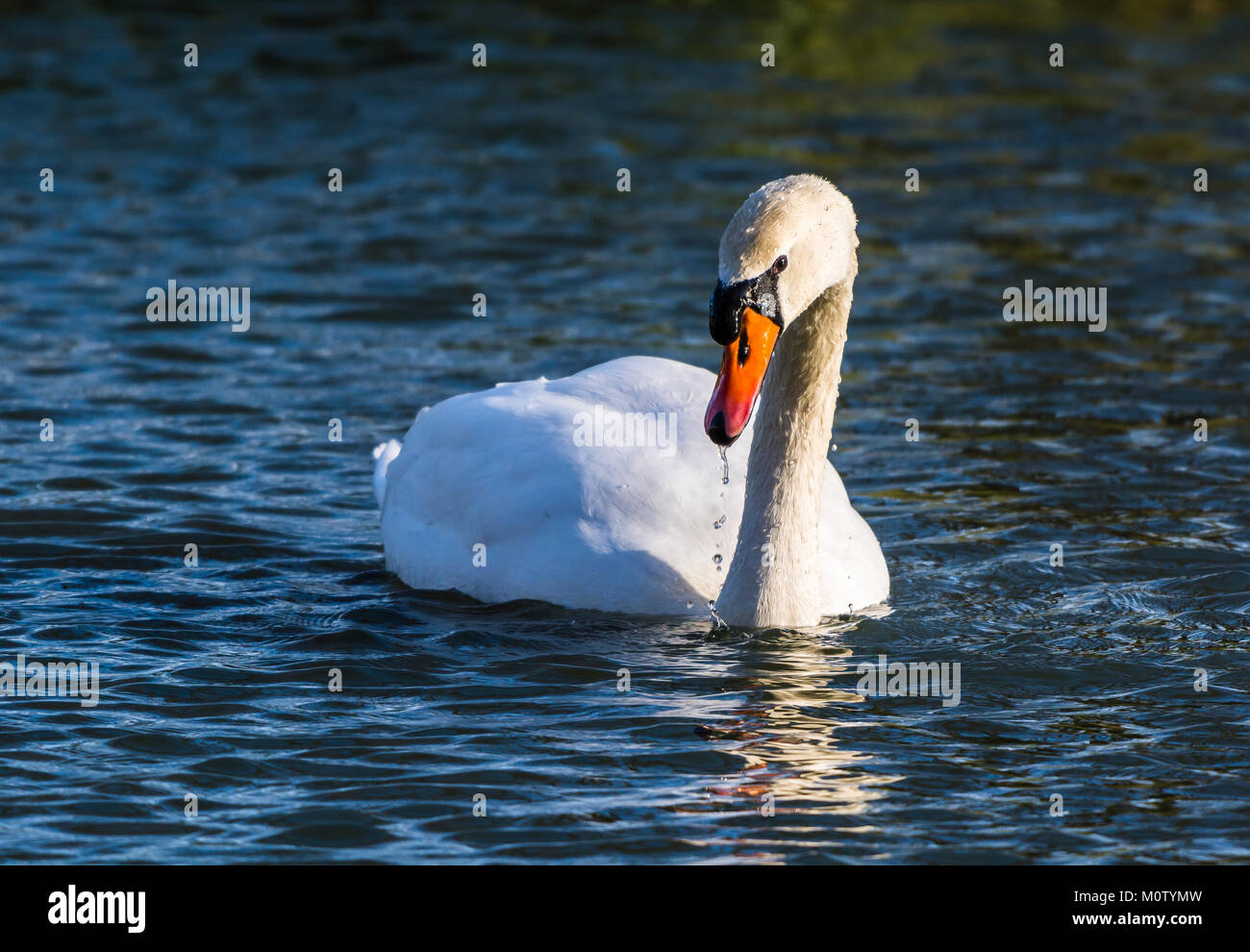 Cygne muet sur l'Octogone Lake, Stowe, Buckinghamshire, UK Banque D'Images