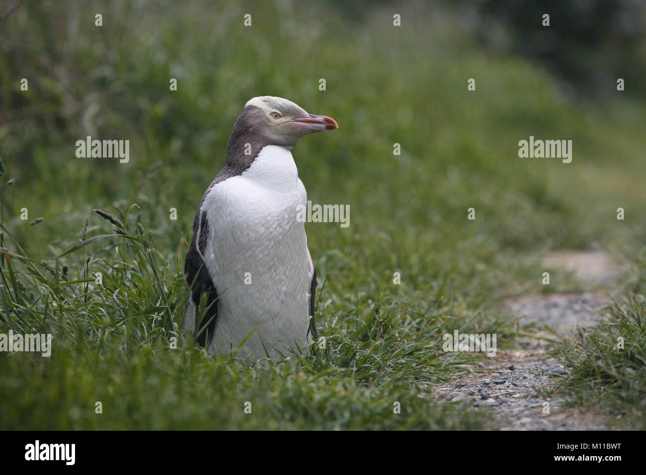Yellow-eyed Penguin, Megadyptes antipodes Photo Stock