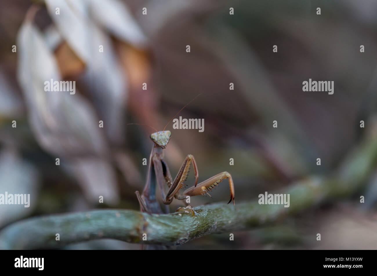 Libre d'une mante religieuse (Mantis) pattes de devant . Profondeur de champ. Photo Stock