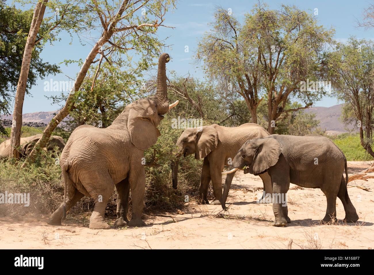 Un groupe d'Éléphants adaptés du désert se nourrir dans la rivière Huab Abu sec lit dans le Damaraland, Namibie. Banque D'Images