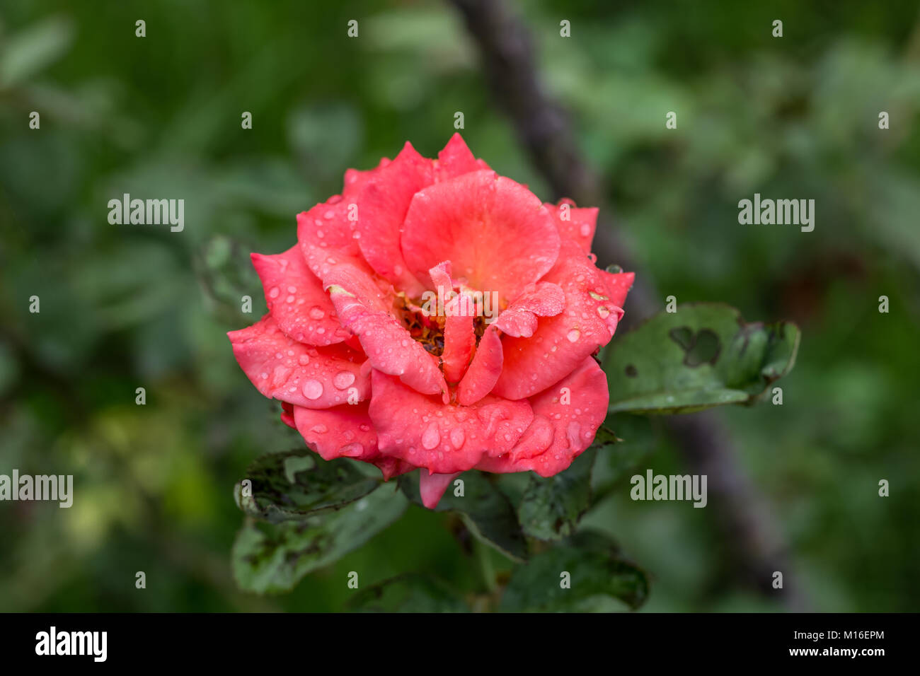 Tôt le matin, beau jardin de fleurs de rose, de rosée sur les roses ...