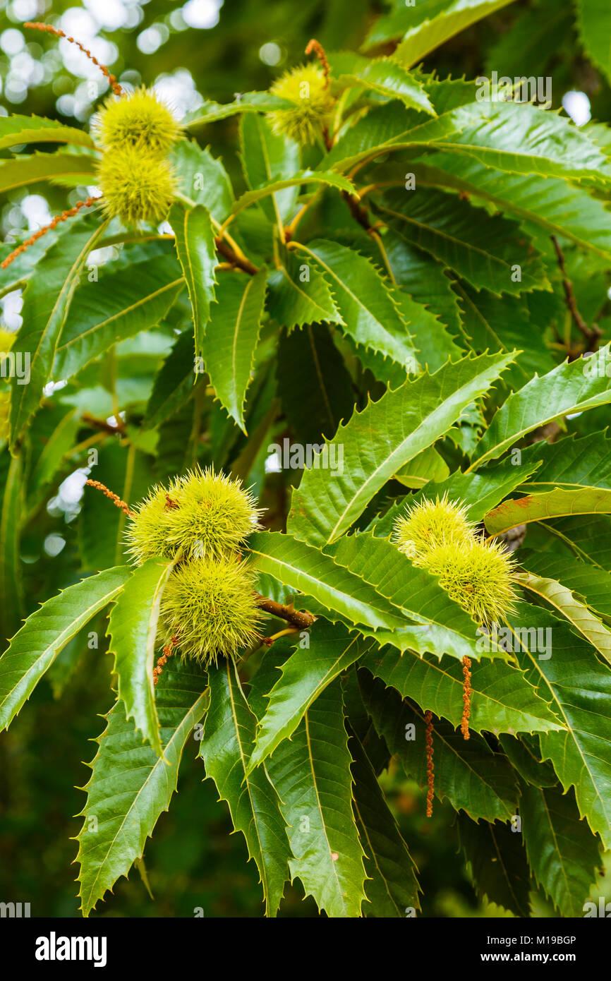 Des feuilles et des châtaignes. Le châtaignier (Castanea sativa). Photo Stock