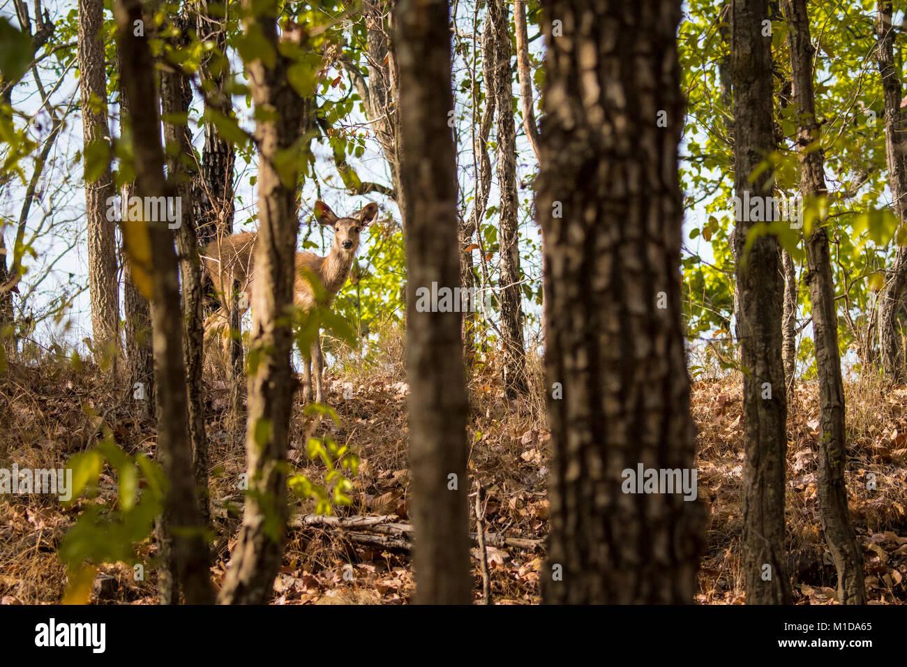 Cerfs Sambar timide, Rusa unicolor, oeil de derrière les arbres Sal dans la forêt de Bandhavgarh National Photo Stock