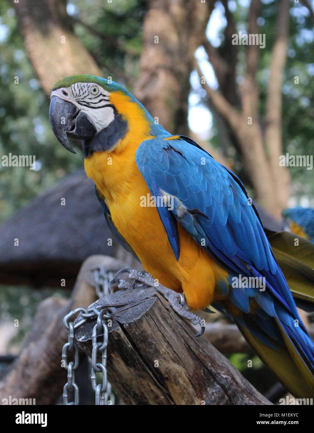Blue-and-yellow Macaw (Ara ararauna) Photo Stock