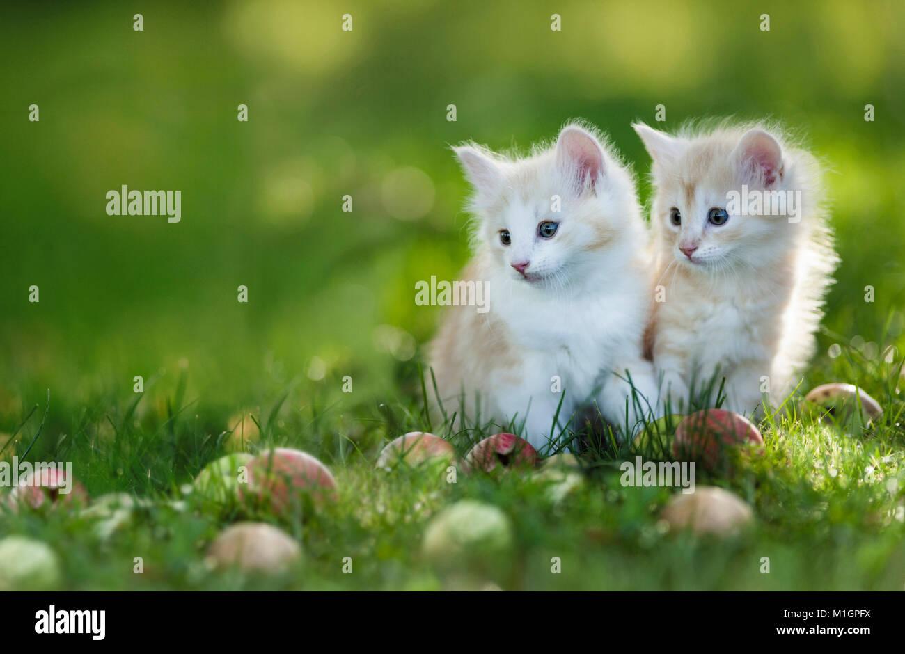 Norwegian Forest cat. Deux chatons dans l'herbe à côté de pommes tombées. L'Allemagne. Photo Stock