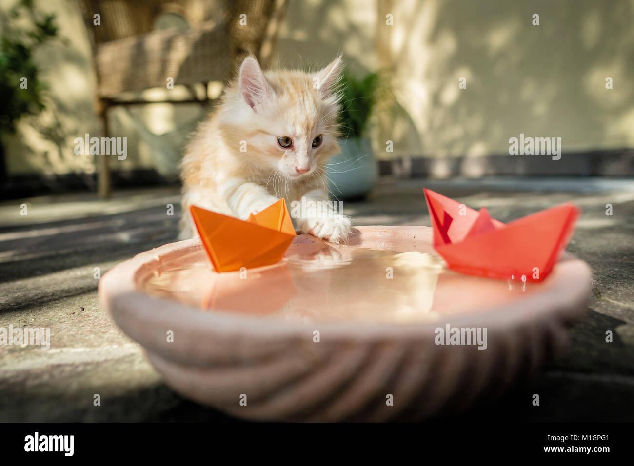 Norwegian Forest cat. Chaton jouant avec des bateaux en papier sur une cuvette d'eau. L'Allemagne. Restriction: Photo Stock