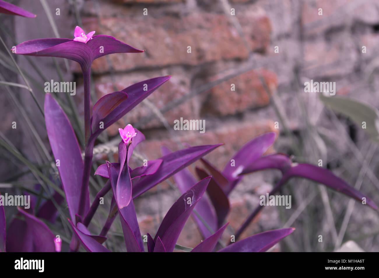 Tradescantia Plante Feuilles De Violette Et Lilas Fleurs De L Annee