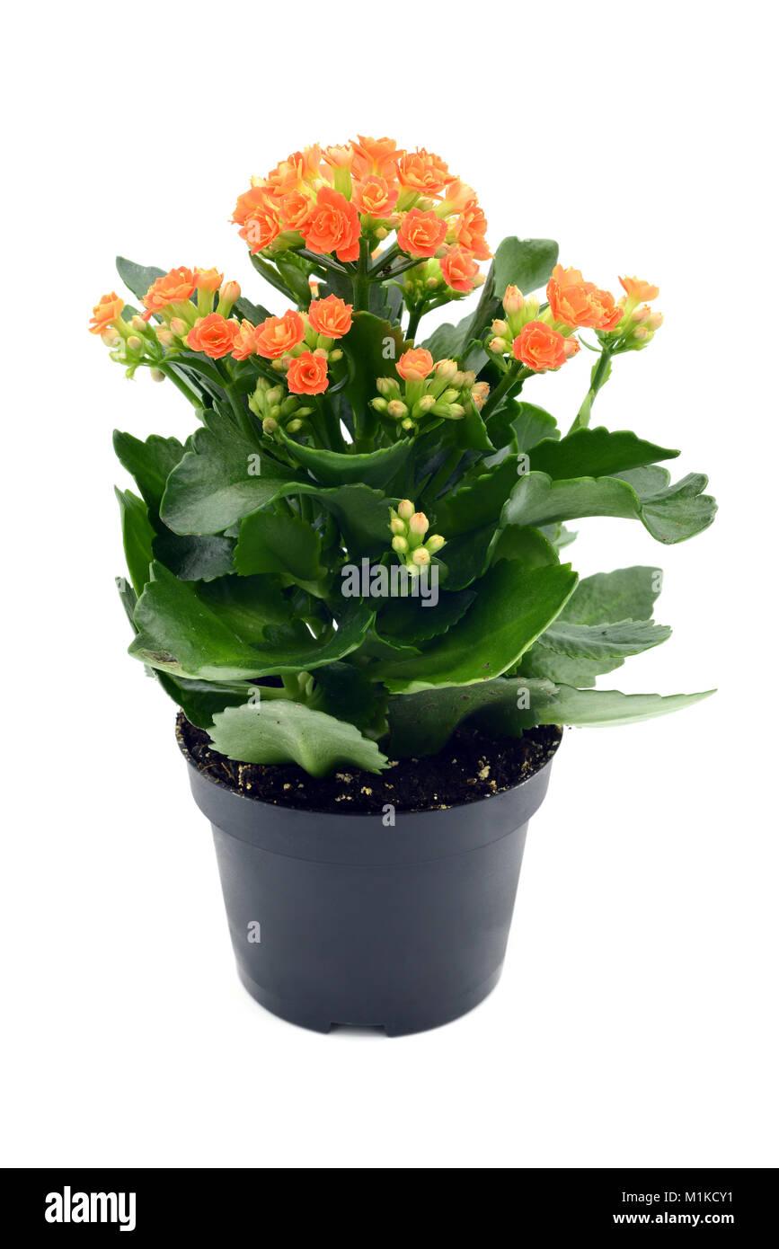 Kalanchoe Blossfeldiana Pot De Fleur En Blanc Au Fond Isole Banque D