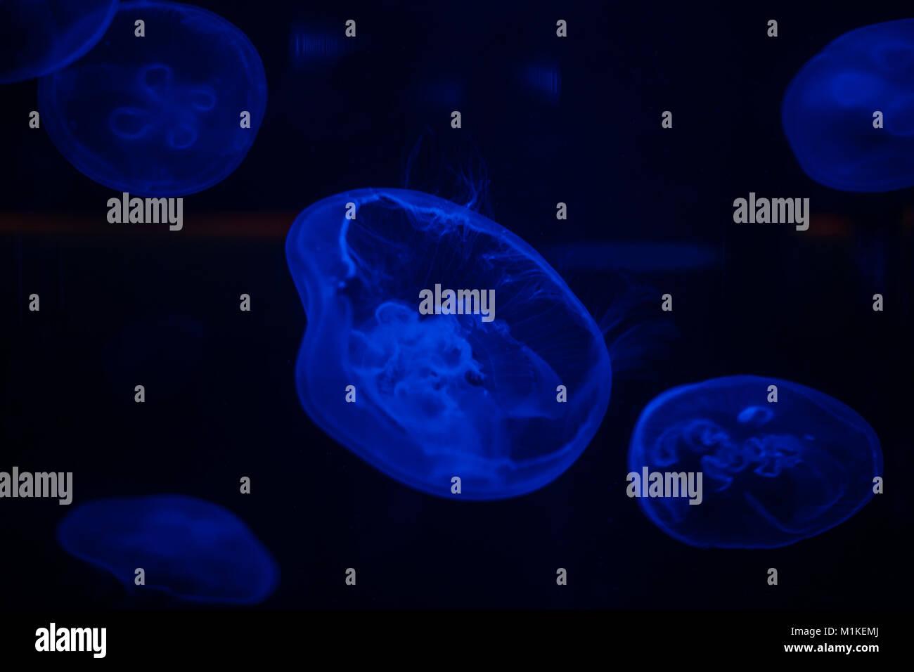 Close up image d'une lune méduses dans un aquarium sous feux bleus Photo Stock