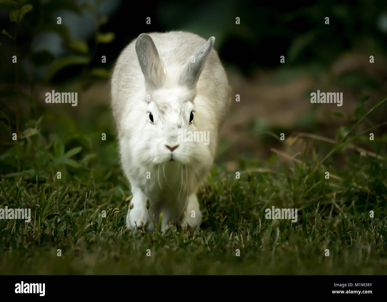 Un lapin blanc, tête de lion, la course dans le jardin au printemps Banque D'Images