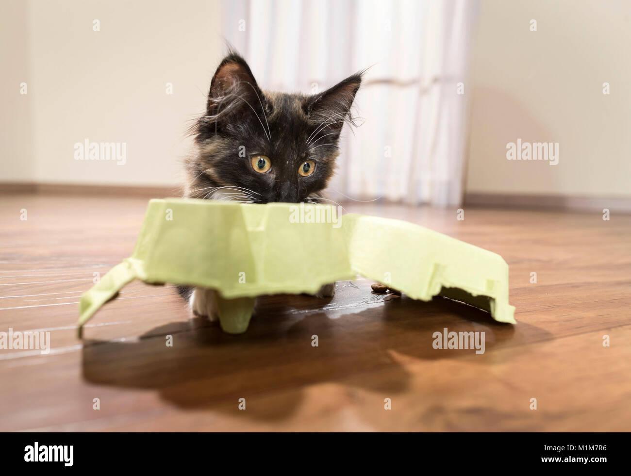 Norwegian Forest cat. Chaton jouant avec une boîte d'oeufs. L'Allemagne. Restriction: Pas disponible Photo Stock