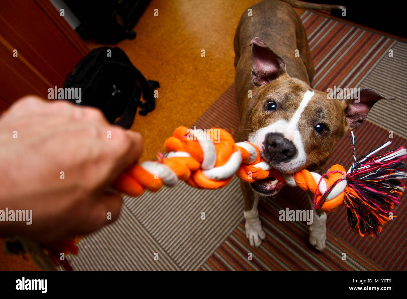 Un American Staffordshire terrier joue avec une corde. Il la tient dans ses mâchoires avec une grande force. Photo Stock