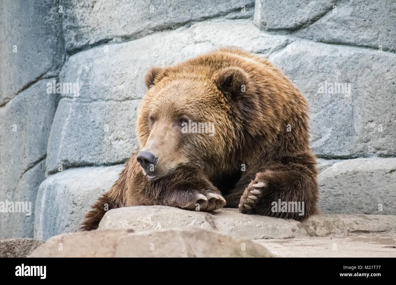 Ours à gauche isolé Photo Stock