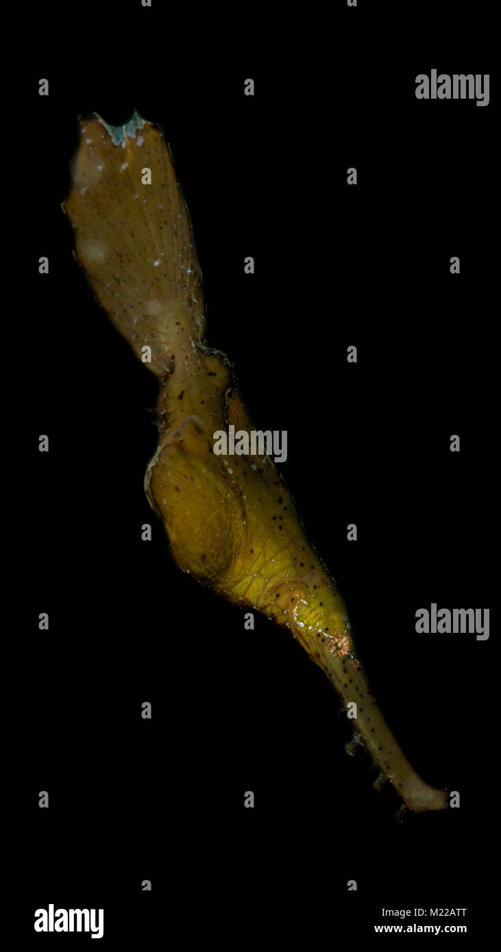 Ghostpipefish robuste flottant au-dessus de la mer Photo Stock
