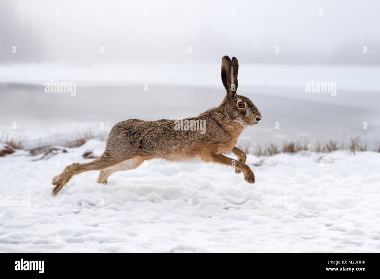 Lièvre d'exécution dans le domaine de l'hiver Photo Stock