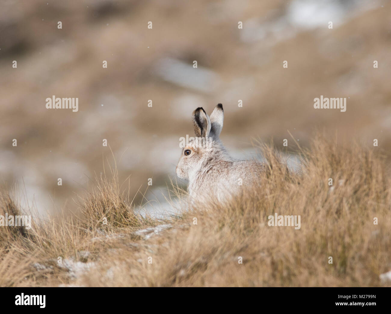 Lièvre Lepus timidus dans leur manteau d'hiver blanc en hiver avec un fond de neige sur les hautes terres Photo Stock