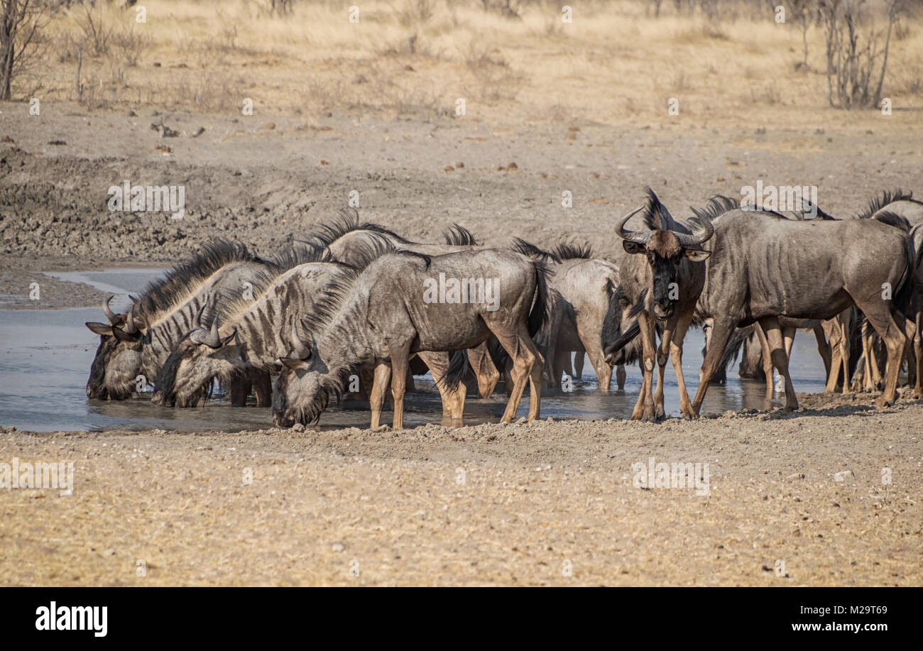 Un troupeau de gnous bleus à un point d'eau dans la savane namibienne Photo Stock