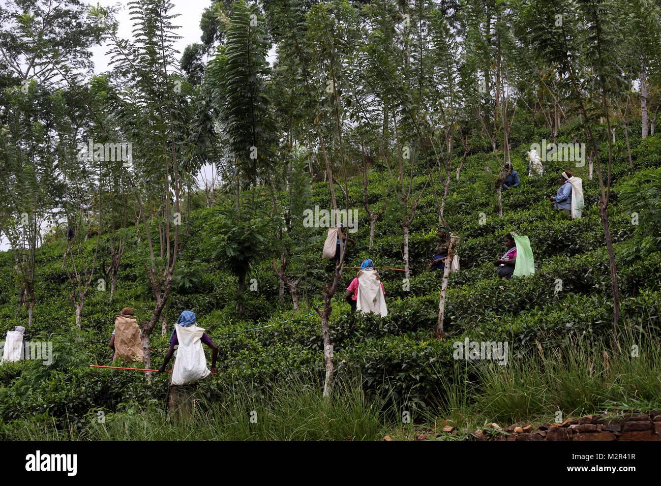 Les cueilleurs de thé à la plantation de thé Nuwara Eliya Hill Country Province centrale Sri Lanka Photo Stock