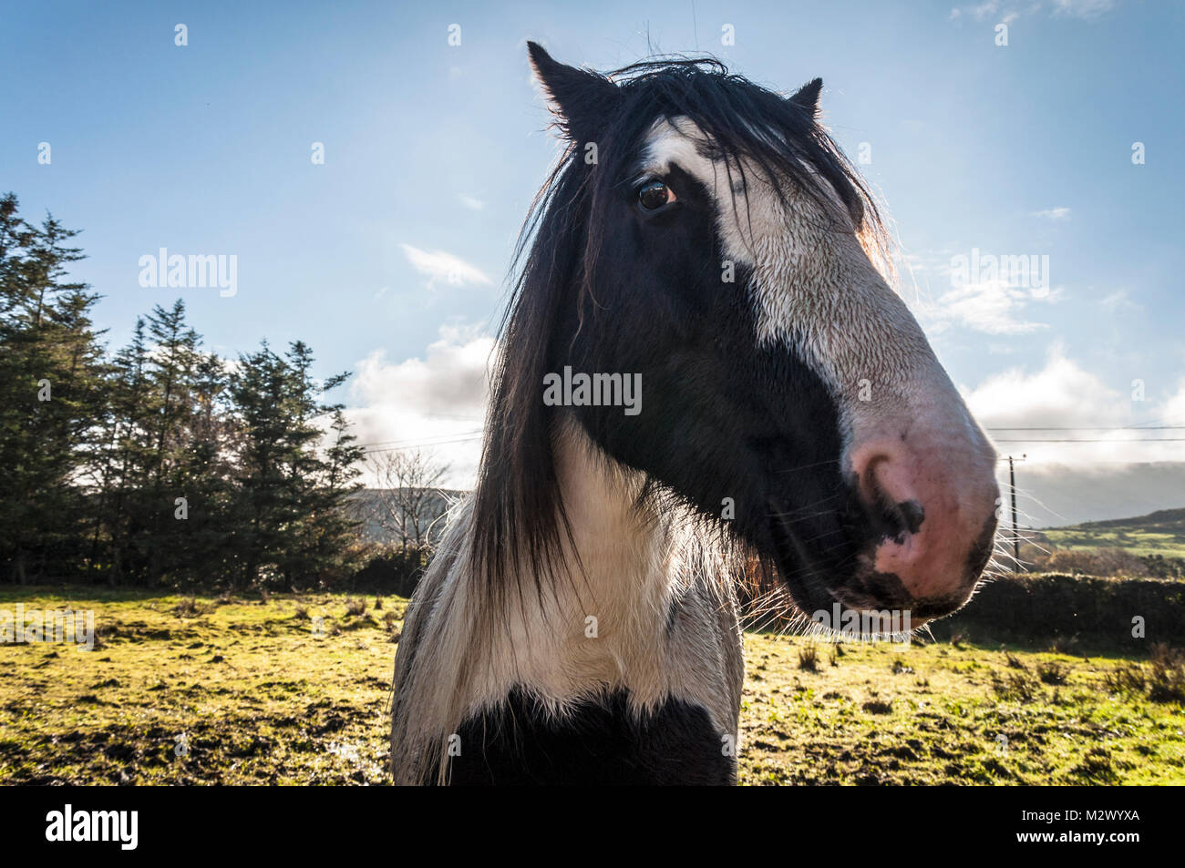 Portrait de cheval dans un champ dans le comté de Donegal, Irlande Photo Stock