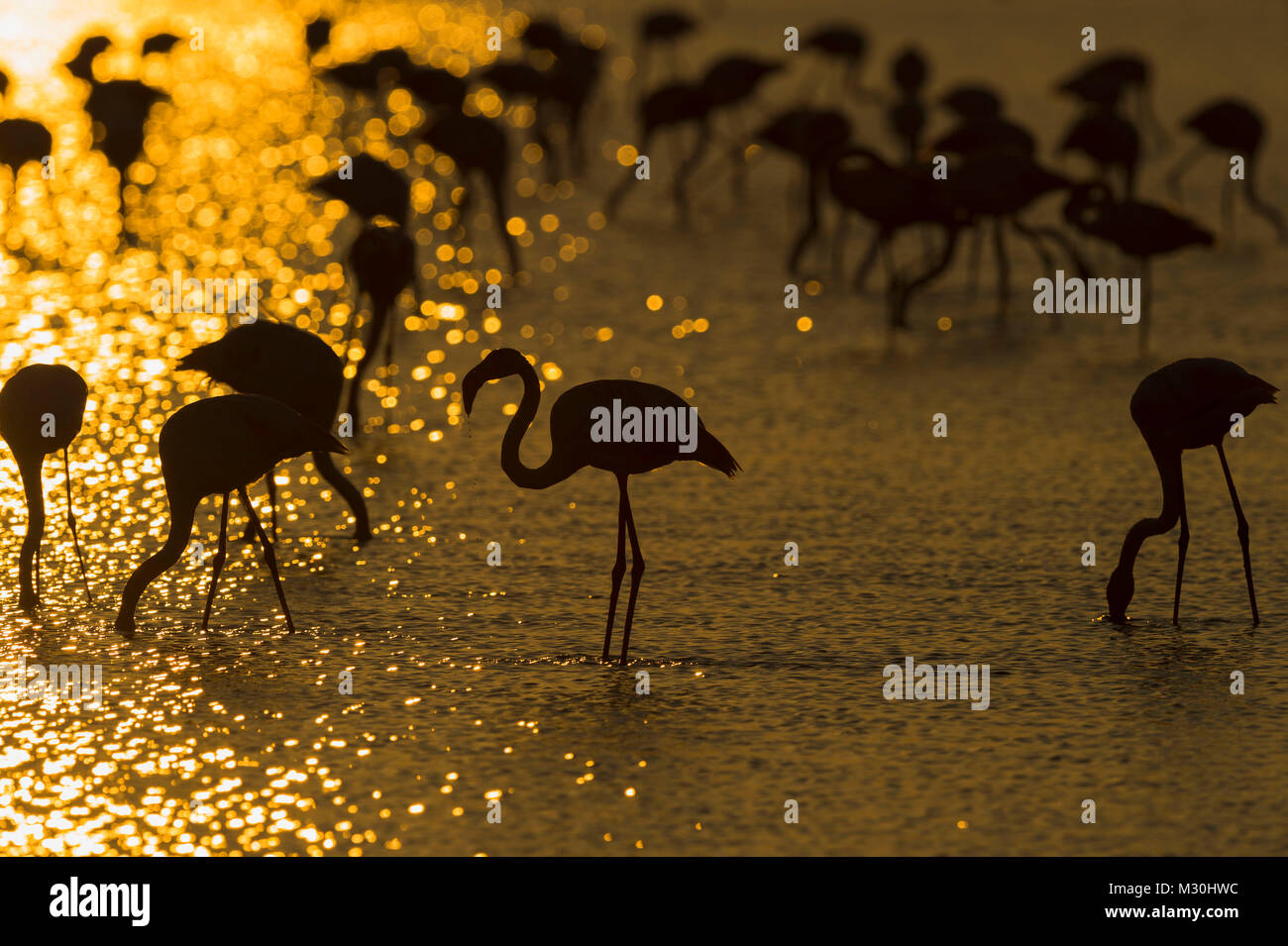 Flamingo, grand Européen, Flamingo Phoenicopterus roseus, au lever du soleil, des Saintes-Maries-de-la-Mer, Photo Stock