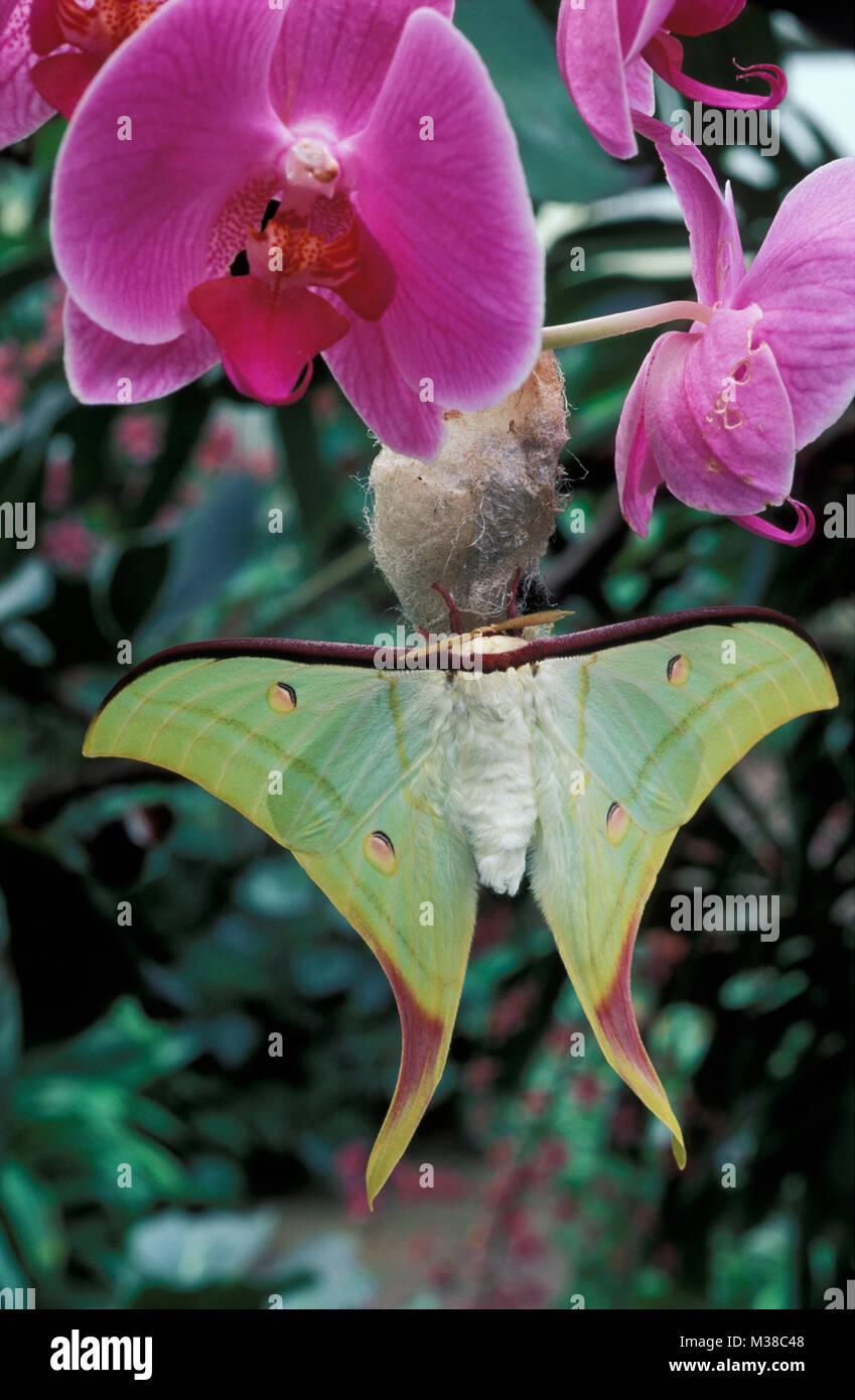 Le Vietnam. Près de Son La. papillon. Papillon de lune indienne (Actias selene). Orchid. Banque D'Images